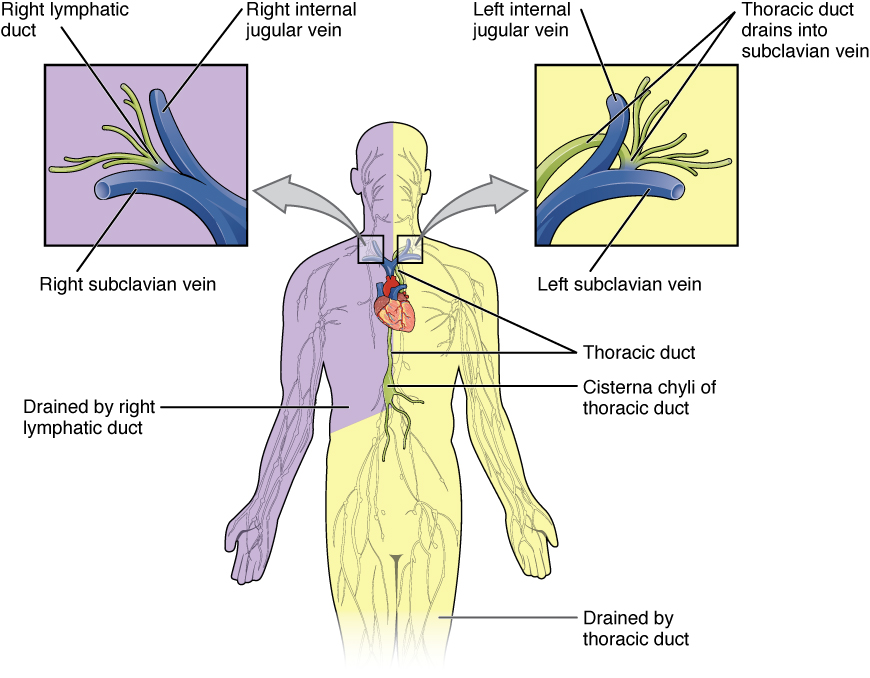 lymphatic vessels,